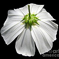 Rose Santuci-Sofranko - White Cosmos Flower...