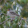 Erica Hanel - White Crowned Sparrow 2