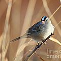 David Cutts - White-crowned Sparrow