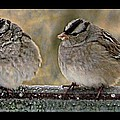 Shannon Story - White-Crowned Sparrows