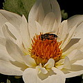 Christiane Schulze Art And Photography - White Dahlia With Bee