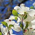 Baslee Troutman Nature Art Prints - White Dogwood Flower...