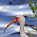 Al Powell Photography USA - White Ibis Close Up