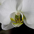 Ivete Basso - White Orchid