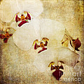 Pam  Holdsworth - White Orchids