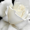 Jennie Marie Schell - White Rose Flower...