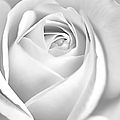 Jennie Marie Schell - White Rose in Black and...
