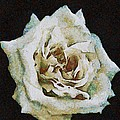Tracey Harrington-Simpson - White Rose
