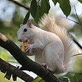 Dwight Cook - White Squirrel