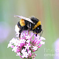 Neil James Brain - White-tailed Bumblebee /...