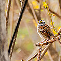Denis Therien - White-throated Sparrow