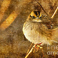 Lois Bryan - White Throated Sparrow
