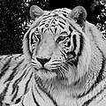 Janice Rae Pariza - White Tiger in Black and...