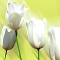 Ben and Raisa Gertsberg - White Tulips