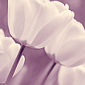 Jennie Marie Schell - White Tulips Purple...
