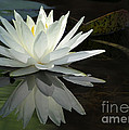 Sabrina L Ryan - White Water Lily...