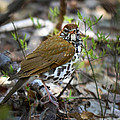 Christina Rollo - Wild Birds - Wood Thrush