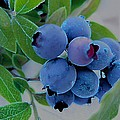 Shirley Sirois - Wild  Blueberries