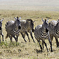 Chris Scroggins - Wild Zebras Running