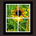 Joseph Coulombe - Window Sun Flowers