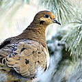 Christina Rollo - Winter Bird Mourning Dove