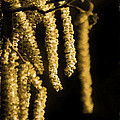 Michelle Orai - Winter Catkins