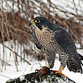 Inspired Nature Photography By Shelley Myke - Winter Hunt Peregrine...