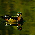 Jeff  Swan - Wood Duck Swimming With...