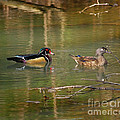 David Cutts - Wood Ducks on the Move
