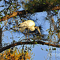 Al Powell Photography USA - Wood Stork Perch