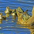 Larry Nieland - Woodie Mom and ducklings