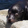 Susan Wiedmann - Wounded Sea Lion Resting
