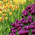 Allen Beatty - Yellow and Purple Tulips