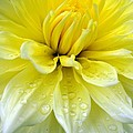 Sara  Raber - Yellow and White Dahlia