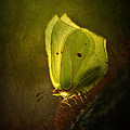 Jaroslaw Blaminsky - Yellow butterfly sitting...