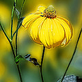 Linda Phelps - Yellow Corn Flower