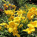MTBobbins Photography - Yellow Daylilies