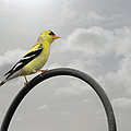 Christine Till - Yellow Finch a bright...