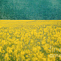 Kim Fearheiley - Yellow Flower Field