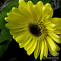 James C Thomas - Yellow Gerbera Daisy /...
