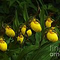 Bob Christopher - Yellow Lady Slipper...