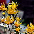 Johnson Moya - Yellow Mum Flowers 1