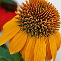 Bruce Bley - Yellow Orange Echinacea