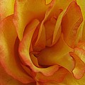 Carol Welsh - Yellow Orange Rose Petals