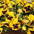 Esther Newman-Cohen - Yellow Pansies Ease the...