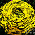 Rose Santuci-Sofranko - Yellow Ranunculus Flower...