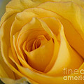 Arlene Carmel - Yellow Rose