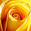 Barbara Chichester - Yellow Rose