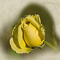 Tessa Fairey - Yellow Rose Bud
