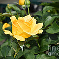 Linda Troski - Yellow Rose of Texas